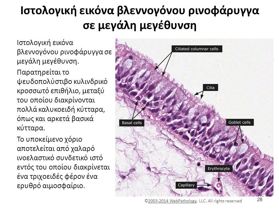 Ιστολογική εικόνα βλεννογόνου ρινοφάρυγγα σε μεγάλη μεγέθυνση Ιστολογική εικόνα βλεννογόνου ρινοφάρυγγα σε μεγάλη μεγέθυνση.