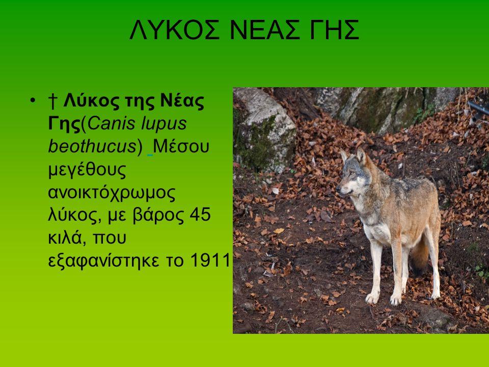ΛΥΚΟΣ ΝΕΑΣ ΓΗΣ † Λύκος της Νέας Γης(Canis lupus beothucus) Μέσου μεγέθους ανοικτόχρωμος λύκος, με βάρος 45 κιλά, που εξαφανίστηκε το 1911