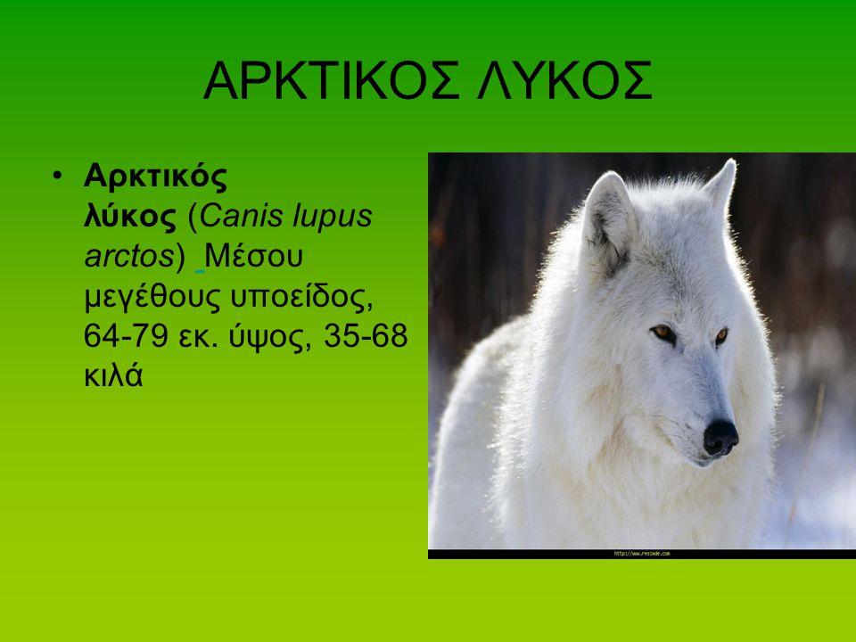 ΑΡΚΤΙΚΟΣ ΛΥΚΟΣ Αρκτικός λύκος (Canis lupus arctos) Μέσου μεγέθους υποείδος, 64-79 εκ. ύψος, 35-68 κιλά