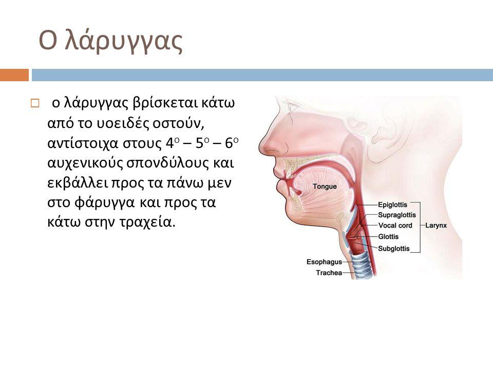 Ο λάρυγγας  ο λάρυγγας βρίσκεται κάτω από το υοειδές οστούν, αντίστοιχα στους 4 ο – 5 ο – 6 ο αυχενικούς σπονδύλους και εκβάλλει προς τα πάνω μεν στο