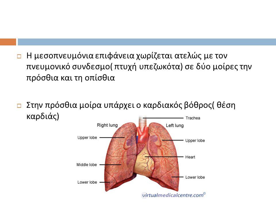  Η μεσοπνευμόνια επιφάνεια χωρίζεται ατελώς με τον πνευμονικό συνδεσμο ( πτυχή υπεζωκότα ) σε δύο μοίρες την πρόσθια και τη οπίσθια  Στην πρόσθια μο
