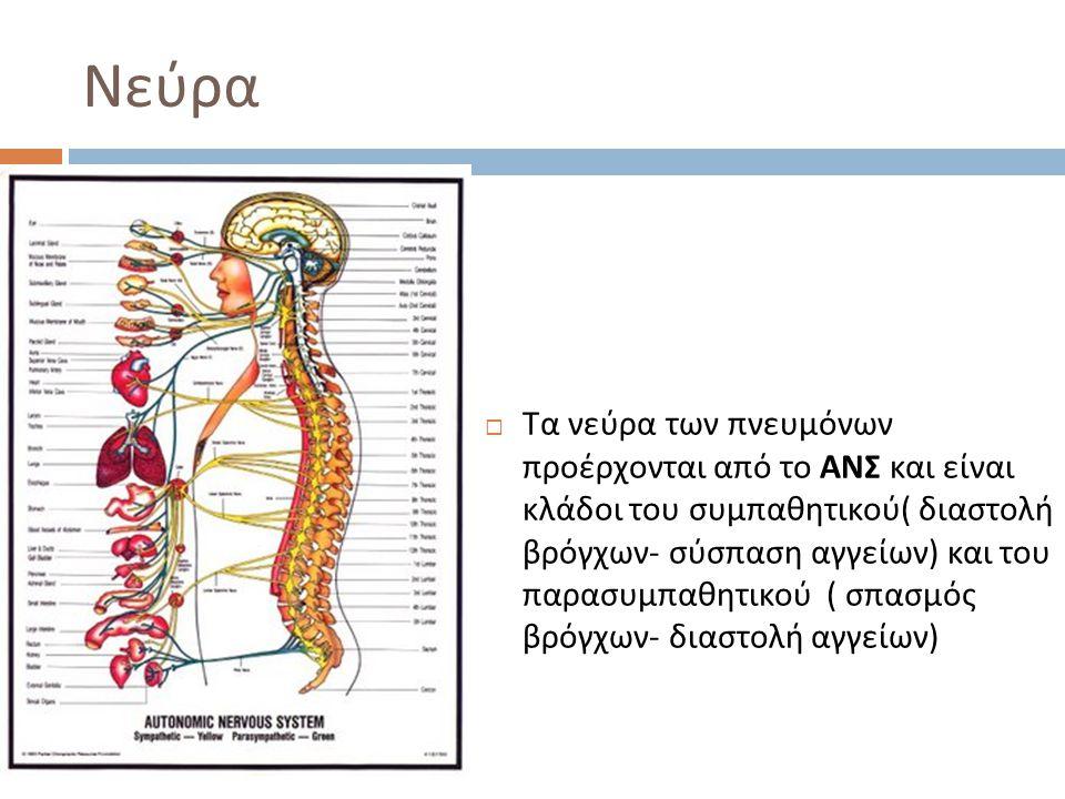 Νεύρα  Τα νεύρα των πνευμόνων προέρχονται από το ΑΝΣ και είναι κλάδοι του συμπαθητικού ( διαστολή βρόγχων - σύσπαση αγγείων ) και του παρασυμπαθητικο