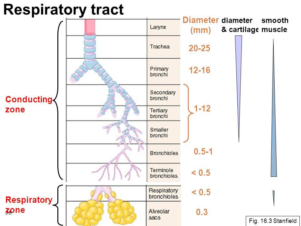 35 Respiratory tract Conducting zone Respiratory zone Fig. 16.3 Stanfield Diameter (mm) 20-25 12-16 1-12 0.5-1 < 0.5 0.3 < 0.5 diameter & cartilage sm