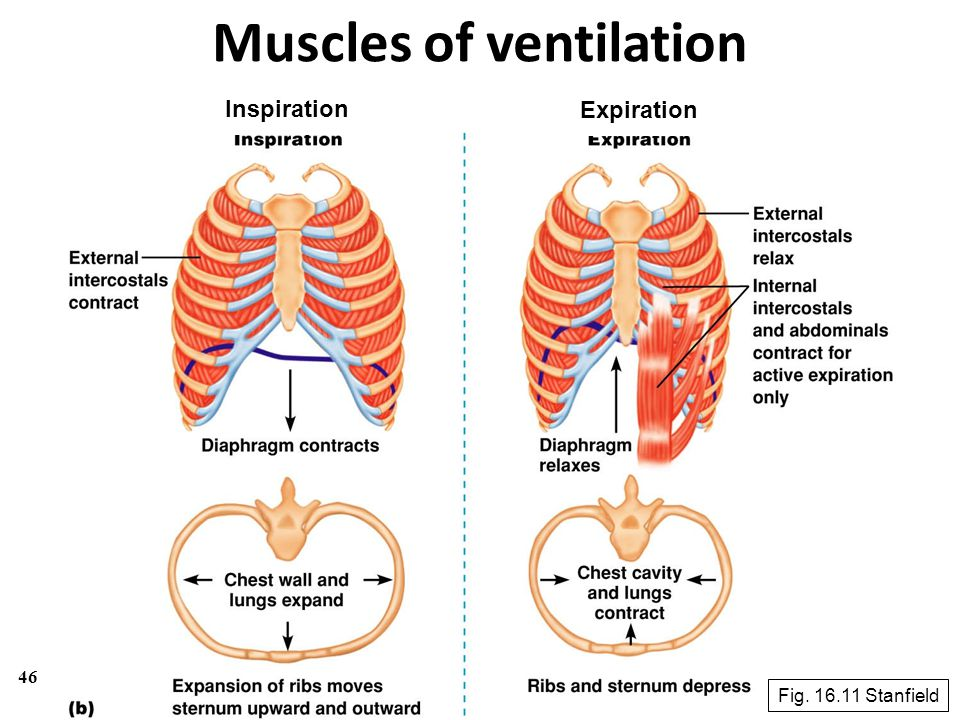 46 Muscles of ventilation Inspiration Expiration Fig. 16.11 Stanfield