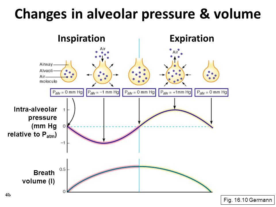 48 Changes in alveolar pressure & volume Fig. 16.10 Germann InspirationExpiration Intra-alveolar pressure (mm Hg relative to P atm ) Breath volume (l)