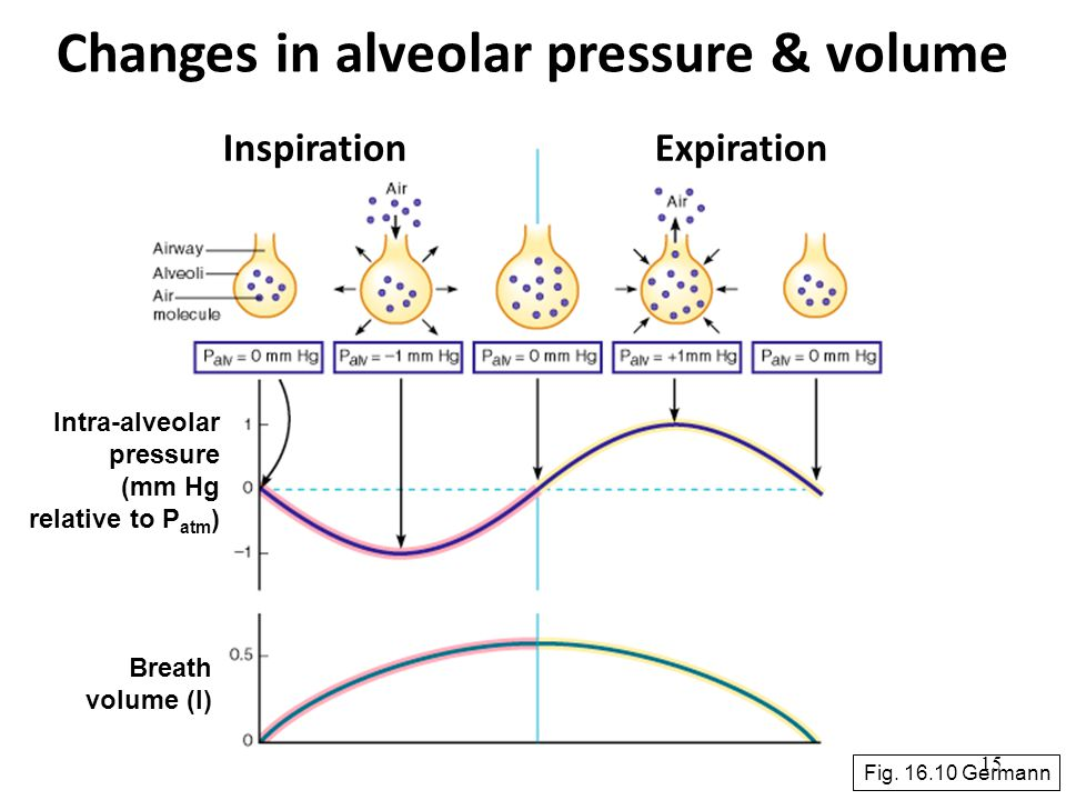 15 Changes in alveolar pressure & volume Fig. 16.10 Germann InspirationExpiration Intra-alveolar pressure (mm Hg relative to P atm ) Breath volume (l)