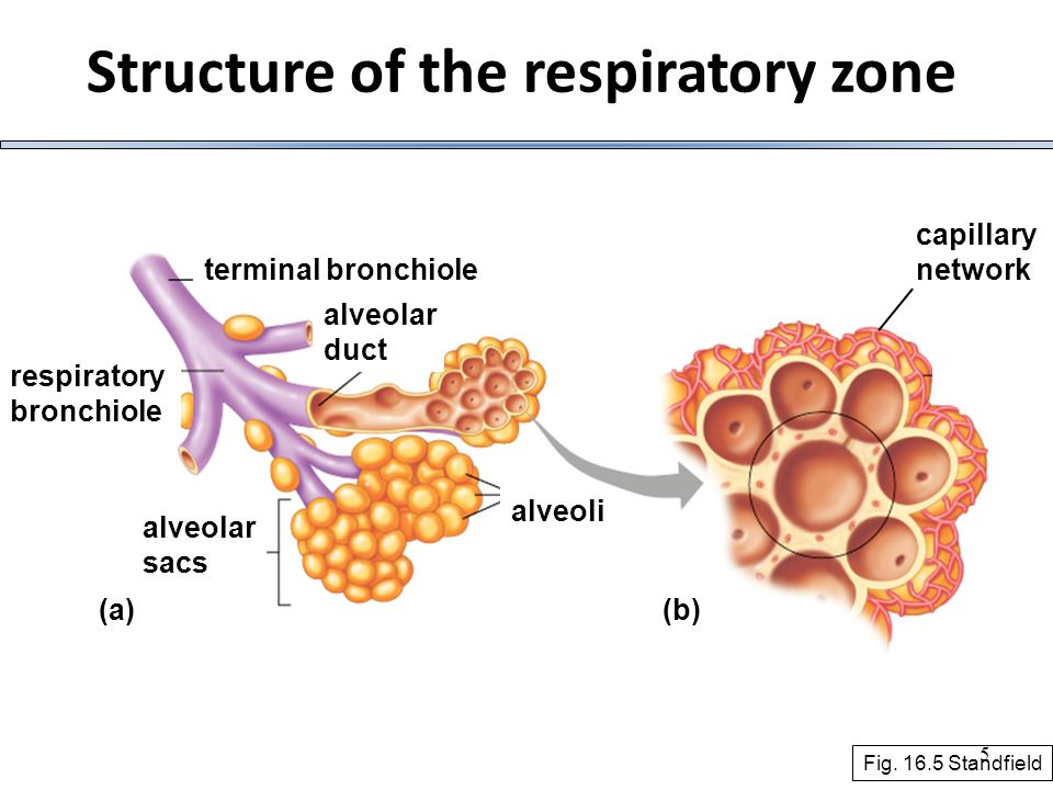 26 Alveolar ventilation  Anatomical dead space – non exchanging airways (~30% of breathed in air)  Minute ventilation – the total amount of air that flows into or out of the respiratory system in a min = V T x No.
