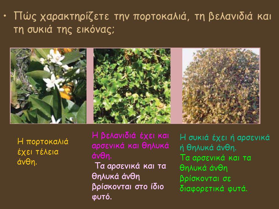 Πώς χαρακτηρίζετε την πορτοκαλιά, τη βελανιδιά και τη συκιά της εικόνας; Η πορτοκαλιά έχει τέλεια άνθη. Η βελανιδιά έχει και αρσενικά και θηλυκά άνθη.