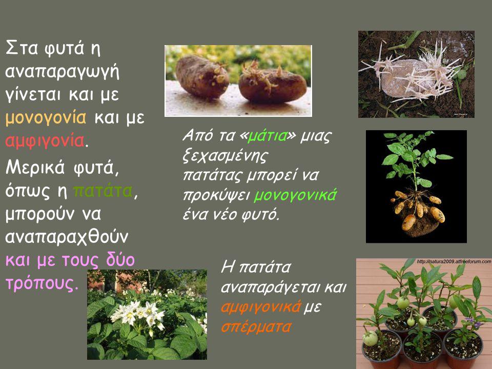Στα φυτά η αναπαραγωγή γίνεται και με μονογονία και με αμφιγονία. Μερικά φυτά, όπως η πατάτα, μπορούν να αναπαραχθούν και με τους δύο τρόπους. Από τα