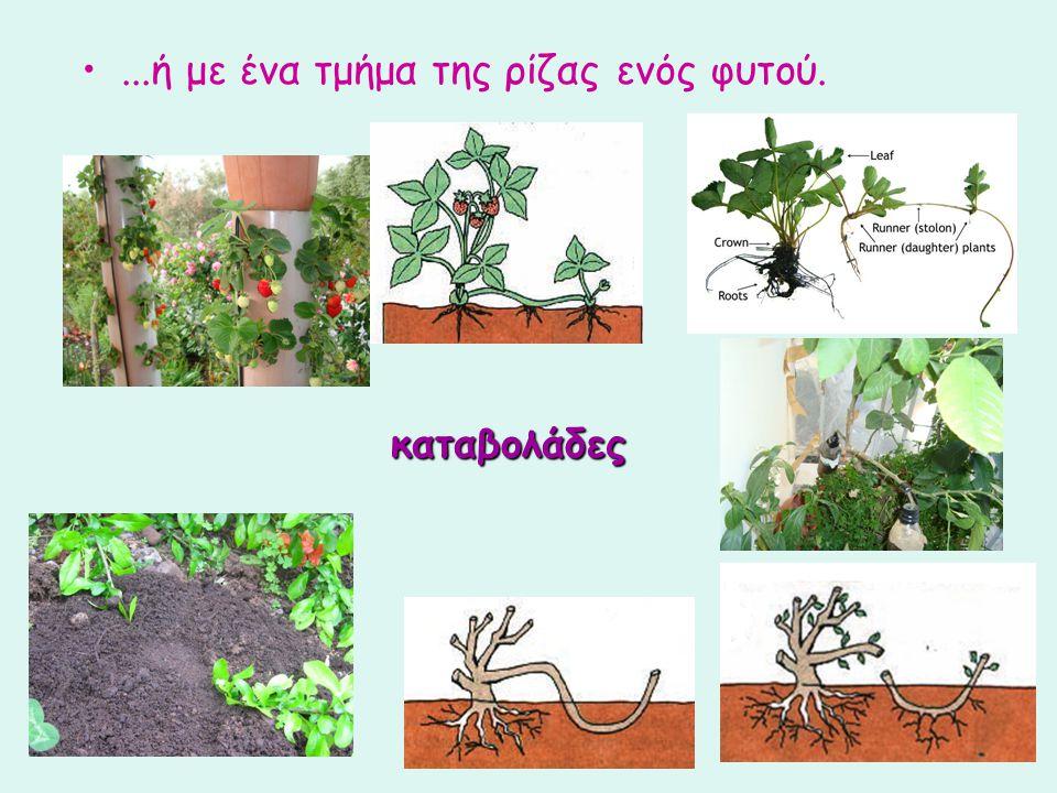 ...ή με ένα τμήμα της ρίζας ενός φυτού. καταβολάδες