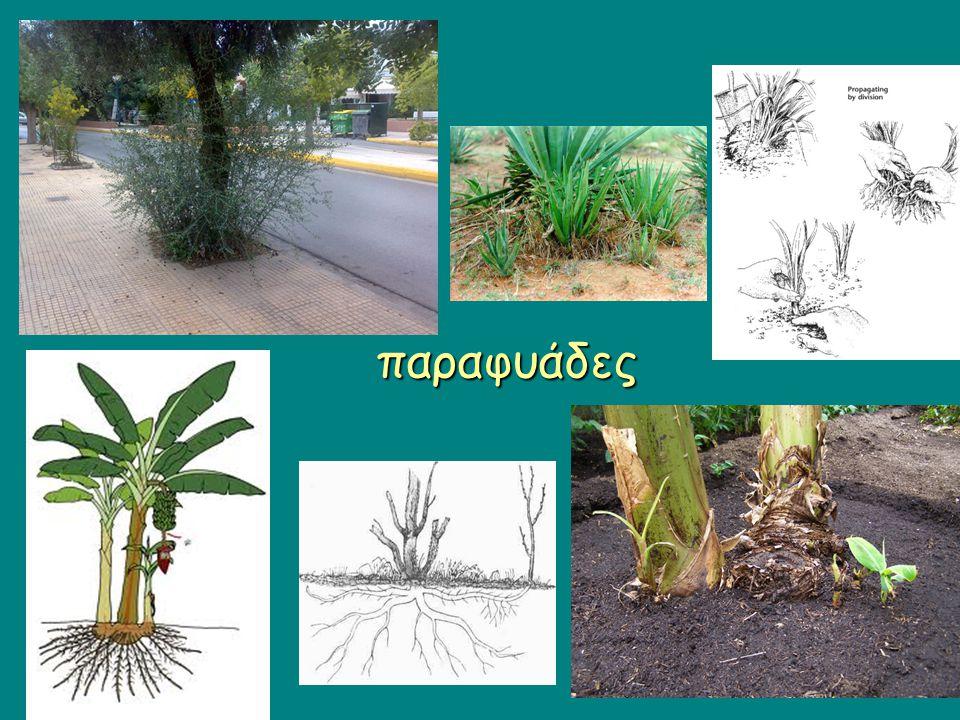 ΑΜΦΙΓΟΝΙΑ Τα ανθόφυτα, δηλαδή τα φυτά που έχουν άνθη, αναπαράγονται με αμφιγονία.