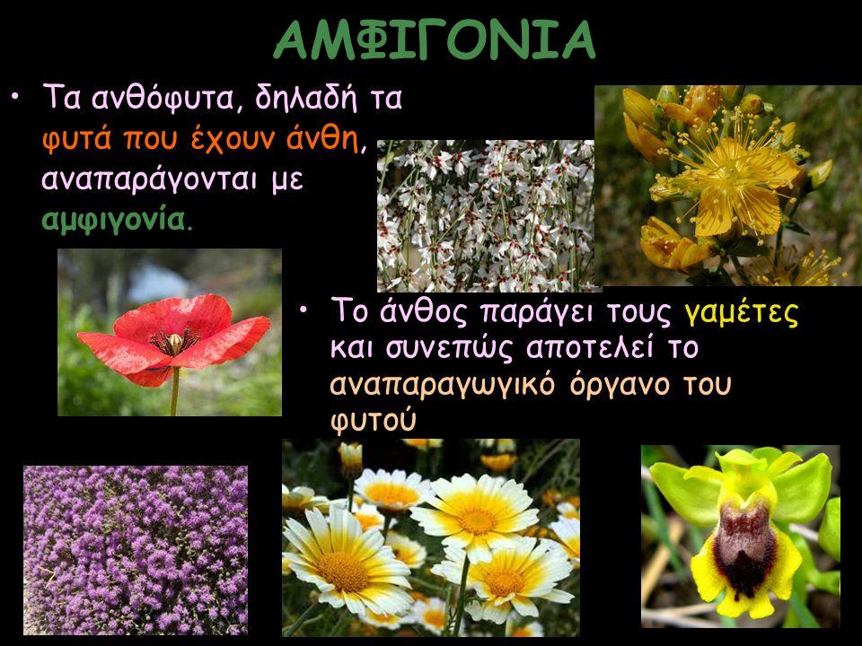 ΑΜΦΙΓΟΝΙΑ Τα ανθόφυτα, δηλαδή τα φυτά που έχουν άνθη, αναπαράγονται με αμφιγονία. Το άνθος παράγει τους γαμέτες και συνεπώς αποτελεί το αναπαραγωγικό