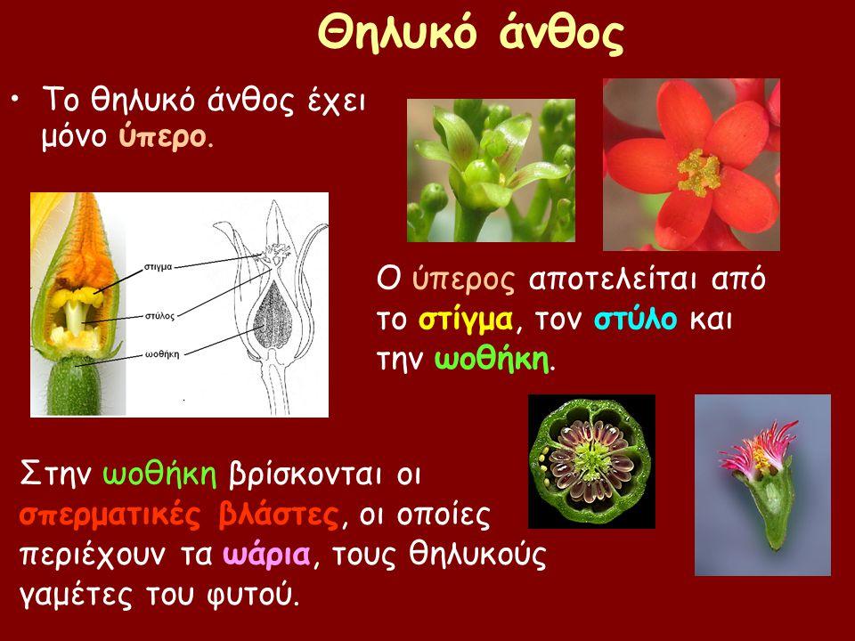 Θηλυκό άνθος Το θηλυκό άνθος έχει μόνο ύπερο. Ο ύπερος αποτελείται από το στίγμα, τον στύλο και την ωοθήκη. Στην ωοθήκη βρίσκονται οι σπερματικές βλάσ