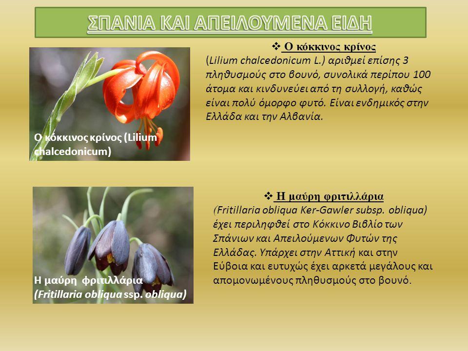 Ο κόκκινος κρίνος (Lilium chalcedonicum)  Ο κόκκινος κρίνος (Lilium chalcedonicum L.) αριθμεί επίσης 3 πληθυσμούς στο βουνό, συνολικά περίπου 100 άτο
