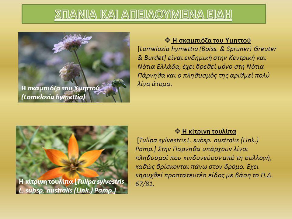 Η σκαμπιόζα του Υμηττού (Lomelosia hymettia)  Η σκαμπιόζα του Υμηττού [Lomelosia hymettia (Boiss. & Spruner) Greuter & Burdet] είναι ενδημική στην Κε
