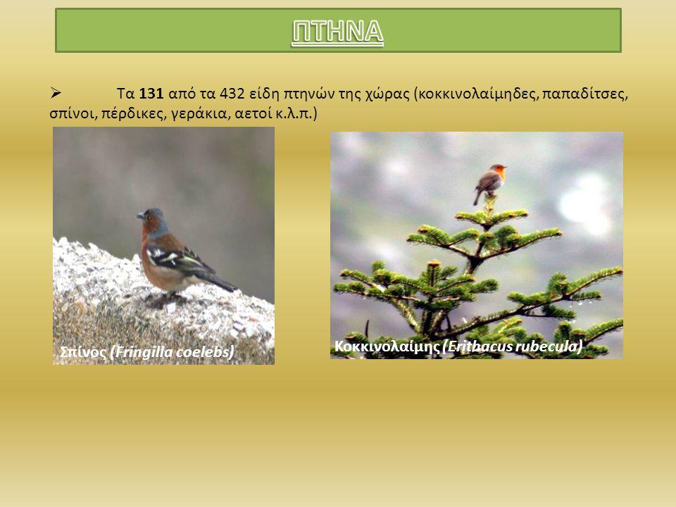  Τα 131 από τα 432 είδη πτηνών της χώρας (κοκκινολαίμηδες, παπαδίτσες, σπίνοι, πέρδικες, γεράκια, αετοί κ.λ.π.) Σπίνος (Fringilla coelebs) Κοκκινολαί
