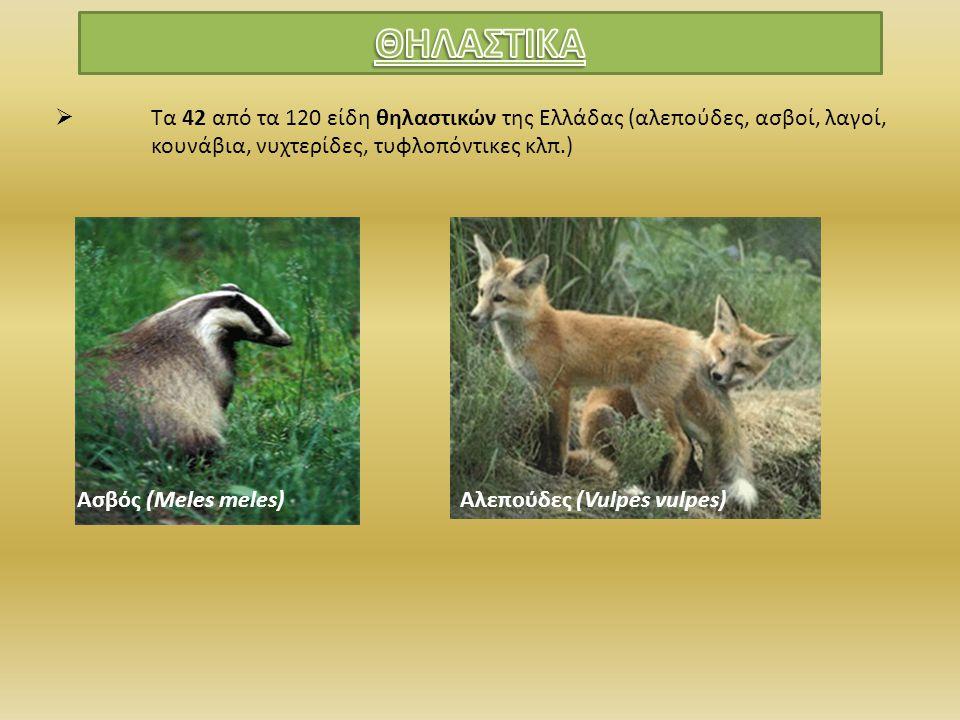  Τα 42 από τα 120 είδη θηλαστικών της Ελλάδας (αλεπούδες, ασβοί, λαγοί, κουνάβια, νυχτερίδες, τυφλοπόντικες κλπ.) Ασβός (Meles meles)Αλεπούδες (Vulpe