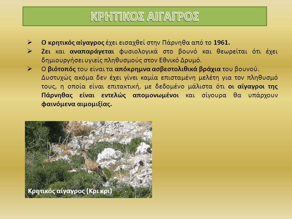 Κρητικός αίγαγρος (Κρι κρι)  Ο κρητικός αίγαγρος έχει εισαχθεί στην Πάρνηθα από το 1961.  Ζει και αναπαράγεται φυσιολογικά στο βουνό και θεωρείται ό