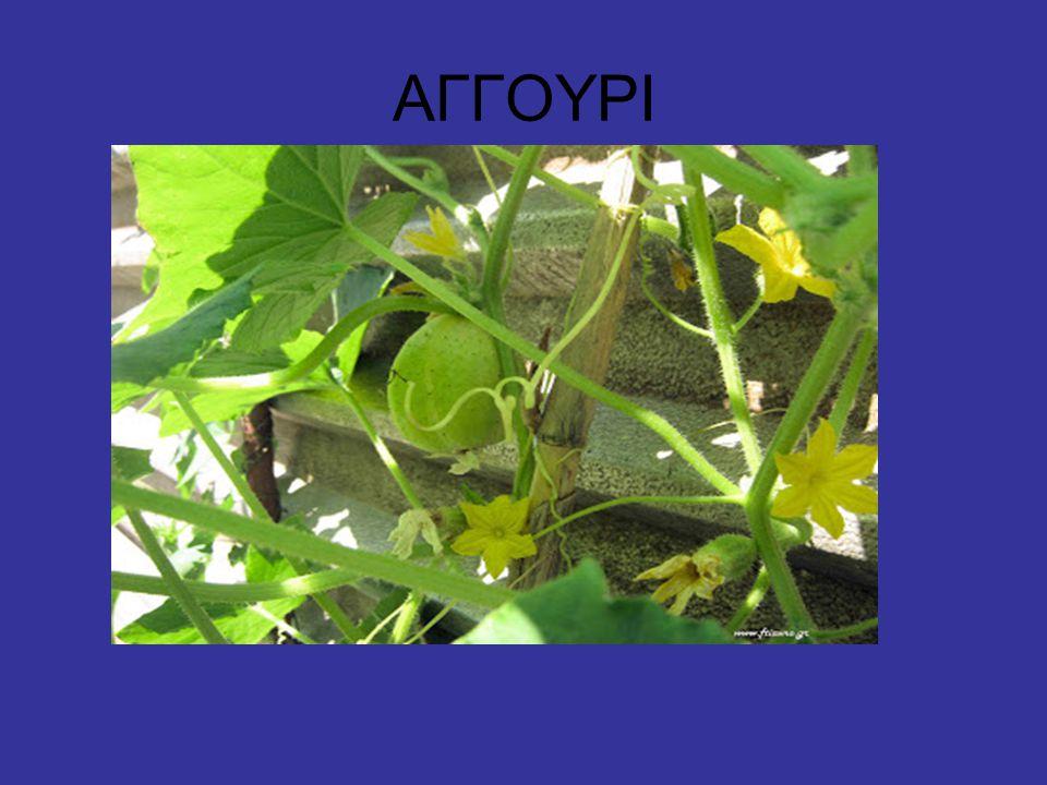 Τα αγγούρια ή καστραβέτσια είναι μονοετή φυτά, της οικογενείας των Κολοκυνθωδών.