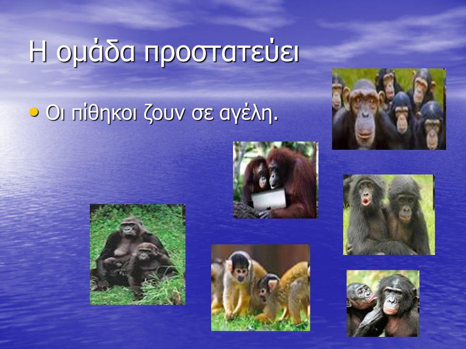Η ομάδα προστατεύει Οι πίθηκοι ζουν σε αγέλη. Οι πίθηκοι ζουν σε αγέλη.