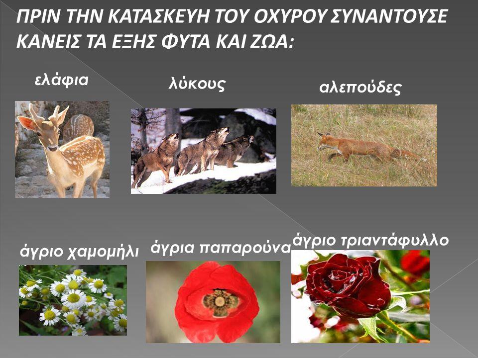 ΠΡΙΝ ΤΗΝ ΚΑΤΑΣΚΕΥΗ ΤΟΥ ΟΧΥΡΟΥ ΣΥΝΑΝΤΟΥΣΕ ΚΑΝΕΙΣ ΤΑ ΕΞΗΣ ΦΥΤΑ ΚΑΙ ΖΩΑ: ελάφια λύκους αλεπούδες άγριο χαμομήλι άγρια παπαρούνα άγριο τριαντάφυλλο