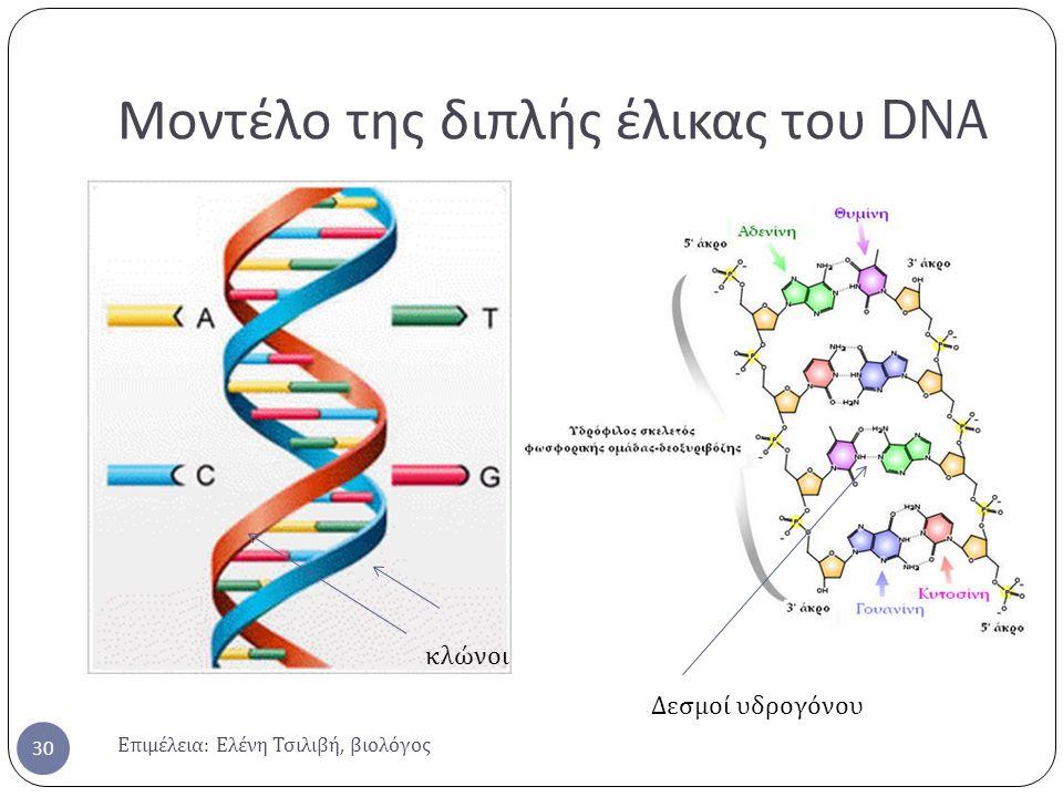 Μοντέλο της διπλής έλικας του DNA Επιμέλεια : Ελένη Τσιλιβή, βιολόγος 30 κλώνοι Δεσμοί υδρογόνου