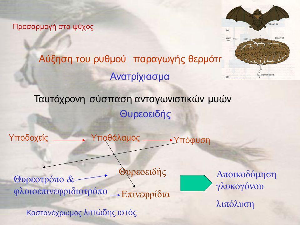 Προσαρμογή στο ψύχος Αύξηση του ρυθμού παραγωγής θερμότητας Ανατρίχιασμα Ταυτόχρονη σύσπαση ανταγωνιστικών μυών Θυρεοειδής ΥποδοχείςΥποθάλαμος Υπόφυση Θυρεοτρόπο & φλοιοεπινεφριδιοτρόπο Θυρεοειδής Επινεφρίδια Αποικοδόμηση γλυκογόνου λιπόλυση Καστανόχρωμος λιπώδης ιστός