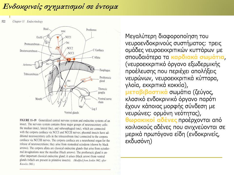 Ενδοκρινείς σχηματισμοί σε έντομα Μεγαλύτερη διαφοροποίηση του νευροενδοκρινούς συστήματος: τρεις ομάδες νευροεκκριτικών κυττάρων με σπουδαιότερα τα καρδιακά σωμάτια, (νευροεκκριτικό όργανο εξωδερμικής προέλευσης που περιέχει απολήξεις νευρώνων, νευροεκκριτικά κύτταρα, γλοία, εκκριτικά κοκκία), μεταβιβαστικά σωμάτια (ζεύγος, κλασικό ενδοκρινικό όργανο παρότι έχουν κάποιας μορφής σύνδεση με νευρώνες: ορμόνη νεότητας), θωρακικοί αδένες προέρχονται από κοιλιακούς αδένες που ανιχνεύονται σε μερικά πρωτόγονα είδη (ενδοκρινείς, εκδυσόνη)
