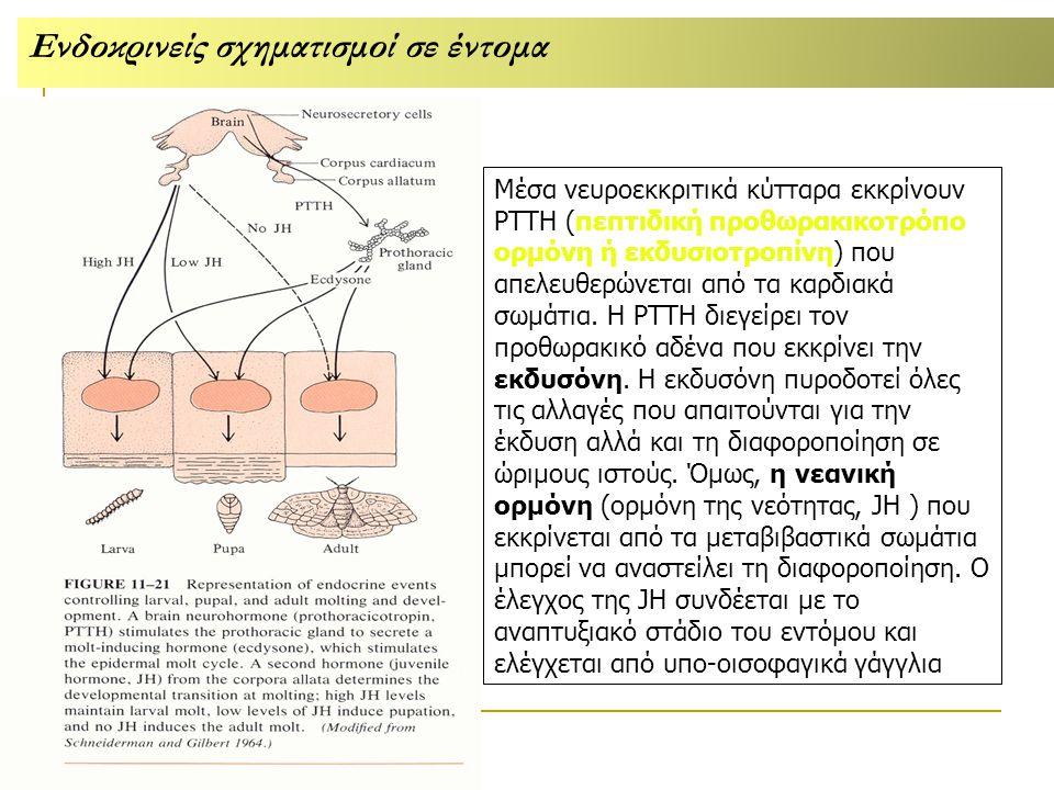 Μέσα νευροεκκριτικά κύτταρα εκκρίνουν ΡΤΤΗ (πεπτιδική προθωρακικοτρόπο ορμόνη ή εκδυσιοτροπίνη) που απελευθερώνεται από τα καρδιακά σωμάτια.