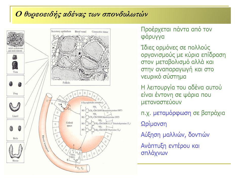 Ο θυρεοειδής αδένας των σπονδυλωτών Προέρχεται πάντα από τον φάρυγγα Ίδιες ορμόνες σε πολλούς οργανισμούς με κύρια επίδραση στον μεταβολισμό αλλά και στην αναπαραγωγή και στο νευρικό σύστημα Η λειτουργία του αδένα αυτού είναι έντονη σε ψάρια που μεταναστεύουν π.χ.