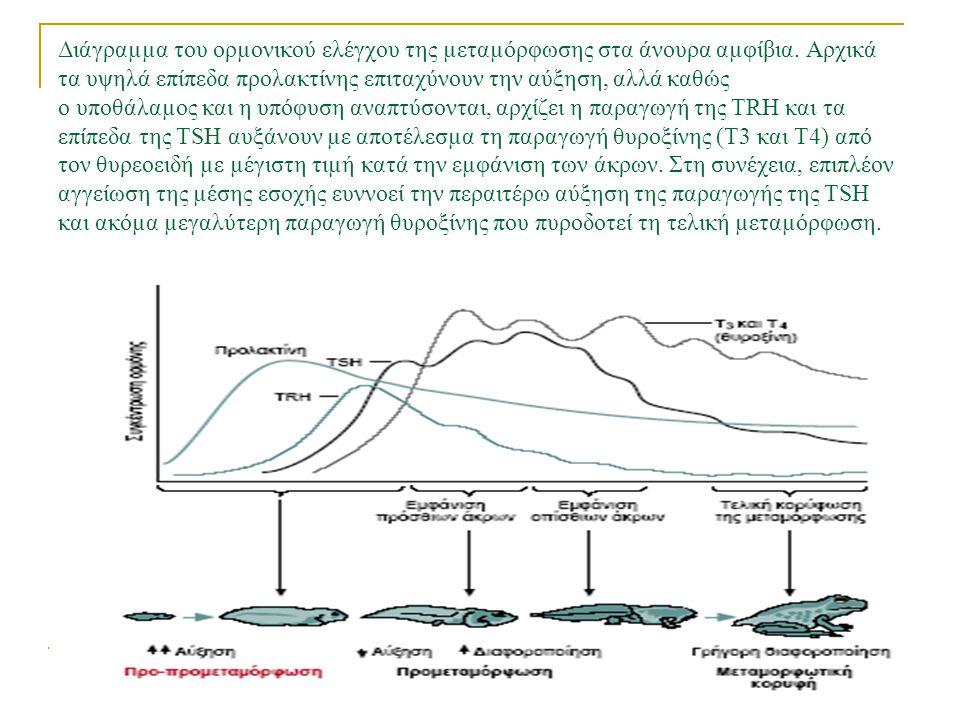Διάγραµµα του ορµονικού ελέγχου της µεταµόρφωσης στα άνουρα αµφίβια.