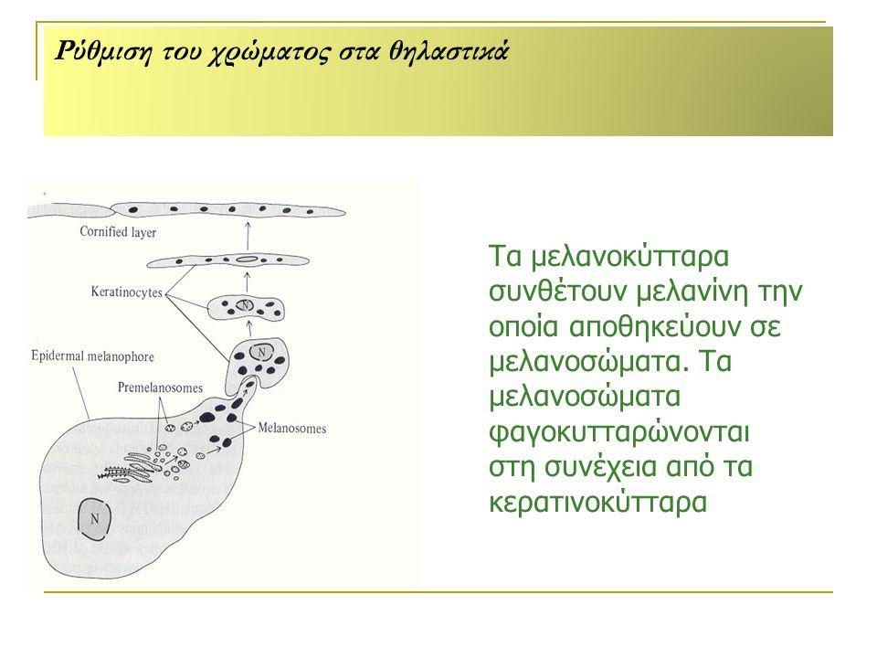 Ρύθμιση του χρώματος στα θηλαστικά Τα μελανοκύτταρα συνθέτουν μελανίνη την οποία αποθηκεύουν σε μελανοσώματα.