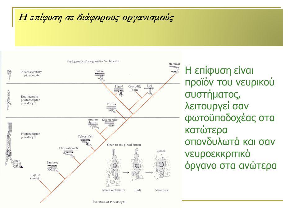 Η επίφυση σε διάφορους οργανισμούς Η επίφυση είναι προϊόν του νευρικού συστήματος, λειτουργεί σαν φωτοϋποδοχέας στα κατώτερα σπονδυλωτά και σαν νευροεκκριτικό όργανο στα ανώτερα