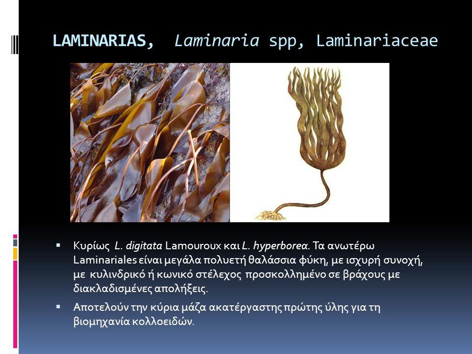 LAMINARIAS, Laminaria spp, Laminariaceae  Κυρίως L. digitata Lamouroux και L. hyperboreα. Τα ανωτέρω Laminariales είναι μεγάλα πολυετή θαλάσσια φύκη,