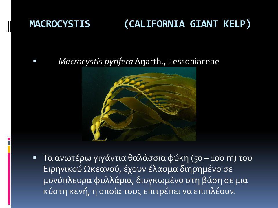 MACROCYSTIS (CALIFORNIA GIANT KELP)  Macrocystis pyrifera Agarth., Lessoniaceae  Τα ανωτέρω γιγάντια θαλάσσια φύκη (50 – 100 m) του Ειρηνικού Ωκεανο