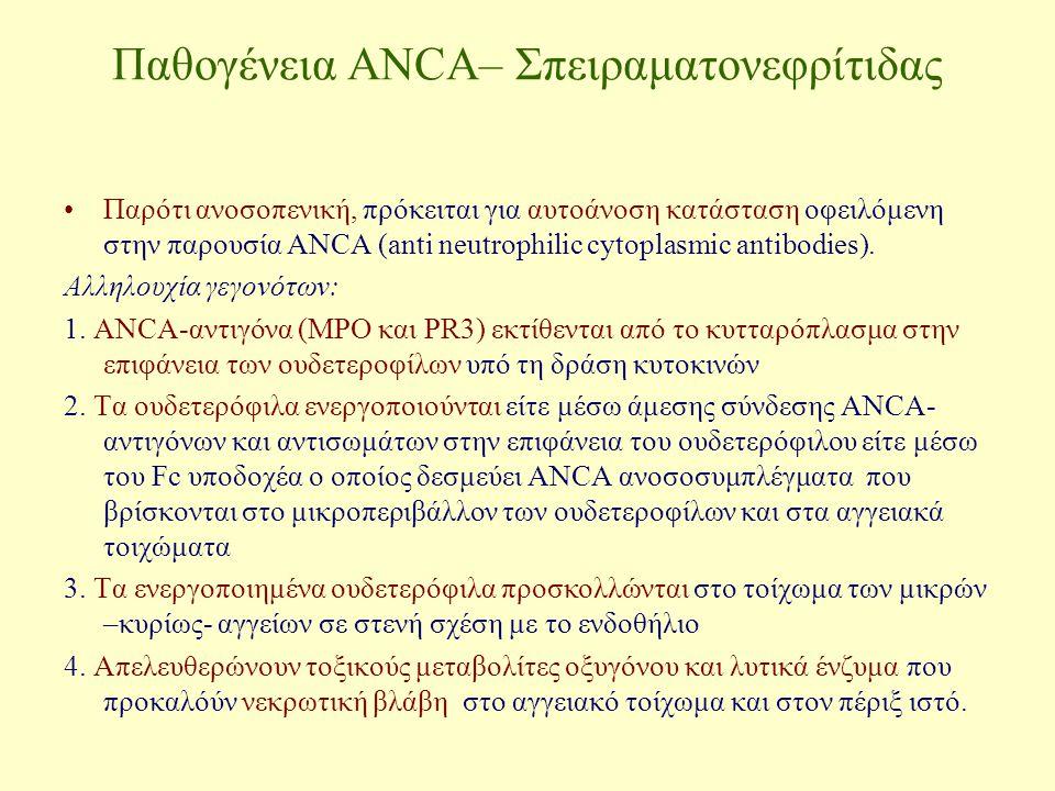 Παθογένεια ANCA– Σπειραματονεφρίτιδας Παρότι ανοσοπενική, πρόκειται για αυτοάνοση κατάσταση οφειλόμενη στην παρουσία ΑΝCA (anti neutrophilic cytoplasm