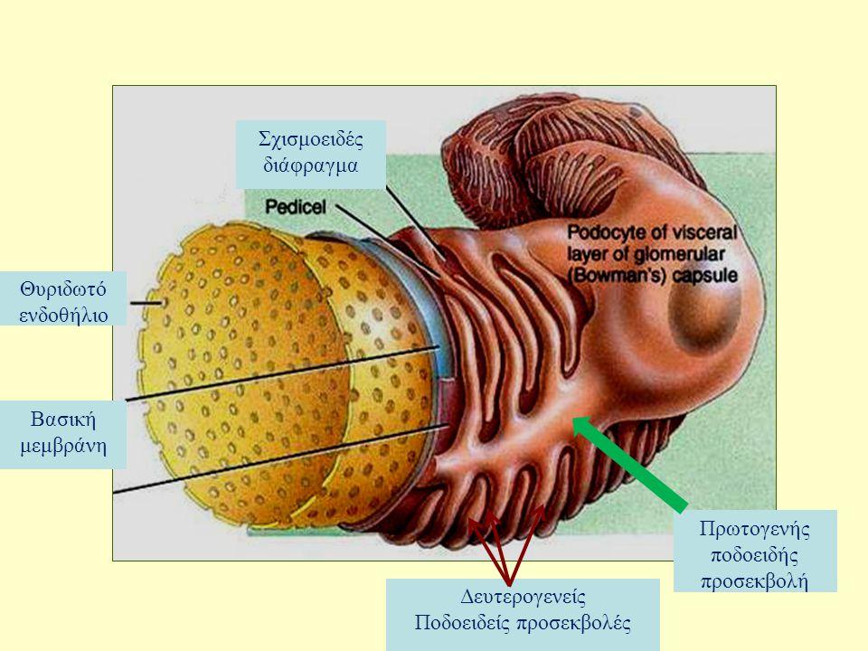 Θυριδωτό ενδοθήλιο Πρωτογενής ποδοειδής προσεκβολή Βασική μεμβράνη Σχισμοειδές διάφραγμα Δευτερογενείς Ποδοειδείς προσεκβολές