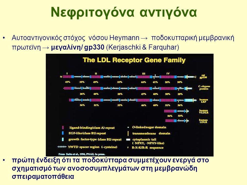 Νεφριτογόνα αντιγόνα Αυτοαντιγονικός στόχος νόσου Heymann → ποδοκυτταρική μεμβρανική πρωτεϊνη → μεγαλίνη/ gp330 (Kerjaschki & Farquhar) πρώτη ένδειξη