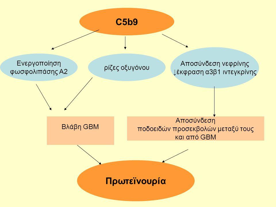 C5b9 Ενεργοποίηση φωσφολιπάσης Α2 Αποσύνδεση νεφρίνης ↓έκφραση α3β1 ιντεγκρίνης ρίζες οξυγόνου Βλάβη GBM Αποσύνδεση ποδοειδών προσεκβολών μεταξύ τους