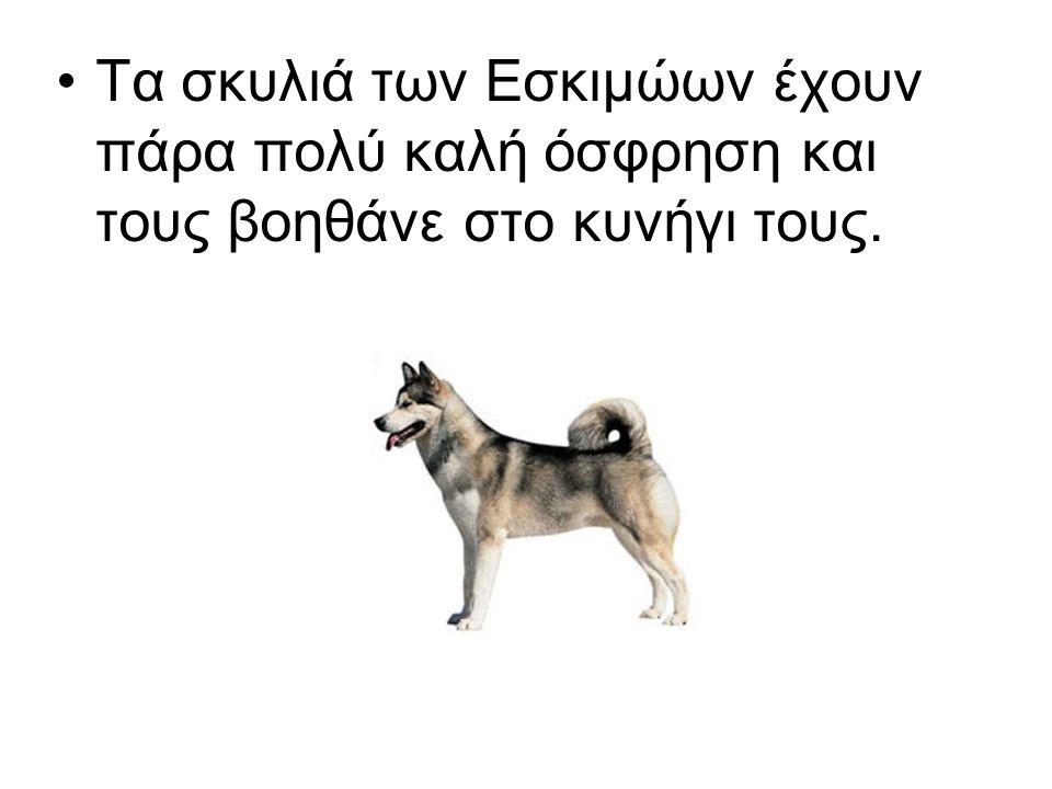 Τα σκυλιά των Εσκιμώων έχουν πάρα πολύ καλή όσφρηση και τους βοηθάνε στο κυνήγι τους.
