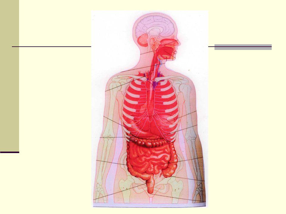 ΔΟΜΗ ΤΗΣ ΓΑΣΤΡΕΝΤΕΡΙΚΗΣ ΟΔΟΥ 1.Η ανώτερη γαστρεντερική οδός περιλαμβάνει: το στόμα, τον φάρυγγα, τον οισοφάγο και το στομάχι.