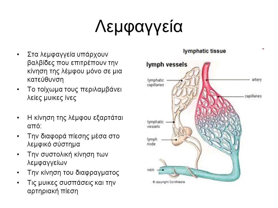 Λεμφαγγεία Στα λεμφαγγεία υπάρχουν βαλβίδες που επιτρέπουν την κίνηση της λέμφου μόνο σε μια κατεύθυνση Το τοίχωμα τους περιλαμβάνει λείες μυικες ίνες