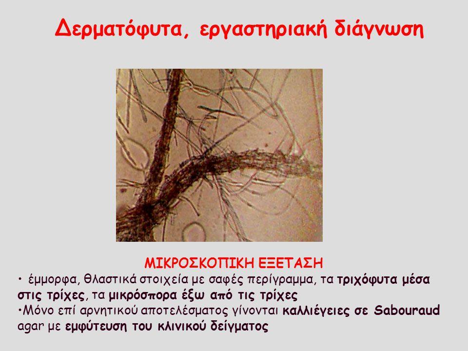 Δερματόφυτα, εργαστηριακή διάγνωση ΜΙΚΡΟΣΚΟΠΙΚΗ ΕΞΕΤΑΣΗ έμμορφα, θλαστικά στοιχεία με σαφές περίγραμμα, τα τριχόφυτα μέσα στις τρίχες, τα μικρόσπορα έ