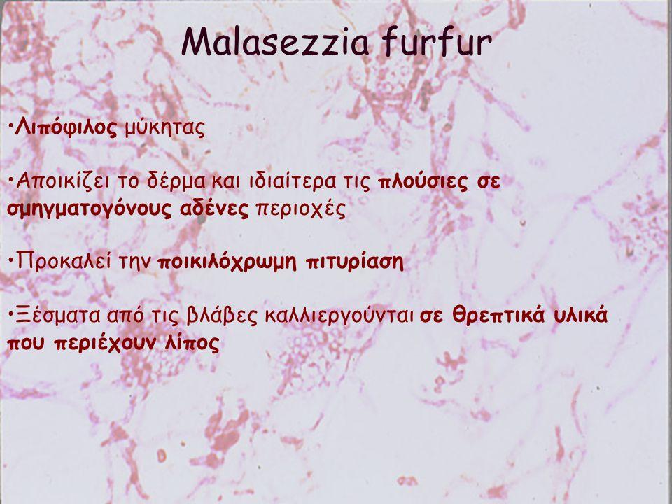 Malasezzia furfur Λιπόφιλος μύκητας Αποικίζει το δέρμα και ιδιαίτερα τις πλούσιες σε σμηγματογόνους αδένες περιοχές Προκαλεί την ποικιλόχρωμη πιτυρίασ