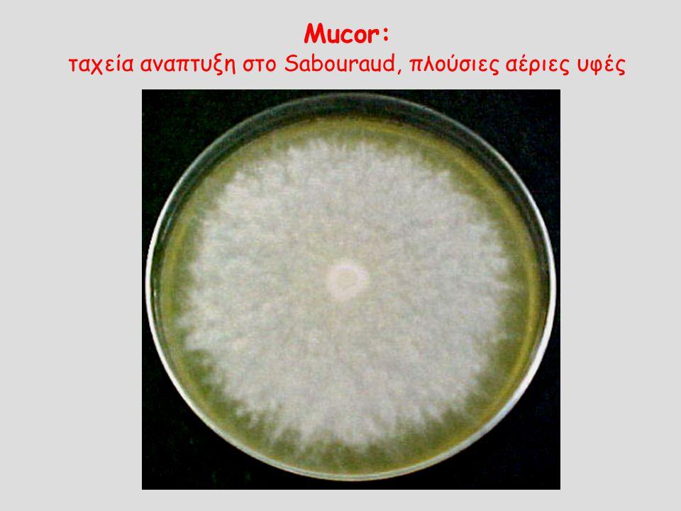 Mucor: ταχεία αναπτυξη στο Sabouraud, πλούσιες αέριες υφές