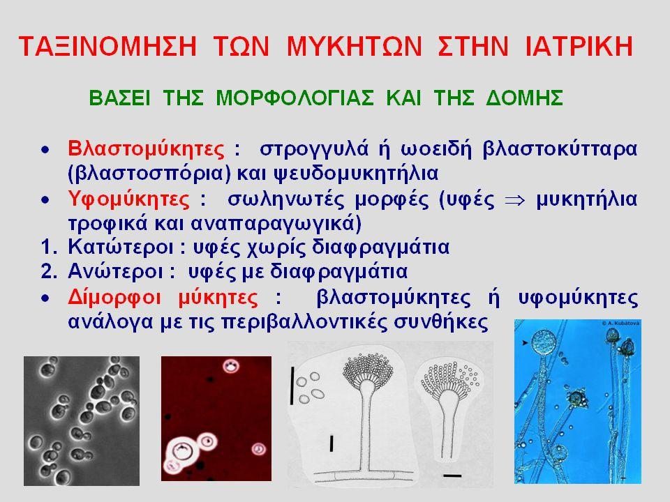 ΑΣΠΕΡΓΙΛΛΟΙ (Aspergillus fumigatus) Μύκητες του φυσικού περιβάλλοντος που αποικίζουν το δέρμα και τους βλεννογόνους ατόμων με μειωμένη άμυνα Διαφανείς σαν από γυαλί υφές που διακλαδίζονται Κονιδιοφόρο κύτταρο που καταλήγει σε κεφαλή («αγιαστούρα» των καθολικών)