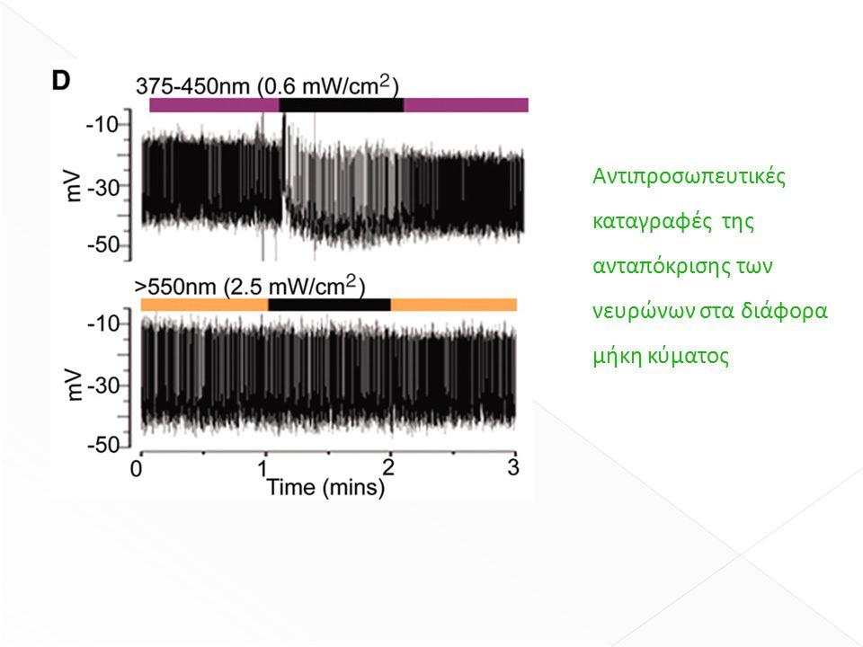 Αντιπροσωπευτικές καταγραφές της ανταπόκρισης των νευρώνων στα διάφορα μήκη κύματος