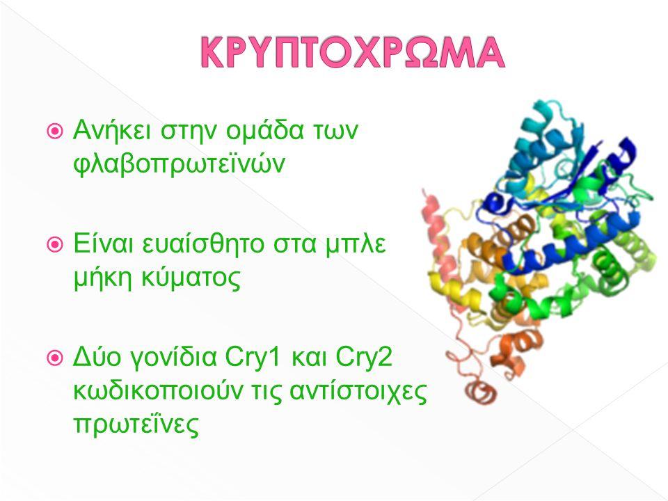  Ανήκει στην ομάδα των φλαβοπρωτεϊνών  Είναι ευαίσθητο στα μπλε μήκη κύματος  Δύο γονίδια Cry1 και Cry2 κωδικοποιούν τις αντίστοιχες πρωτεΐνες
