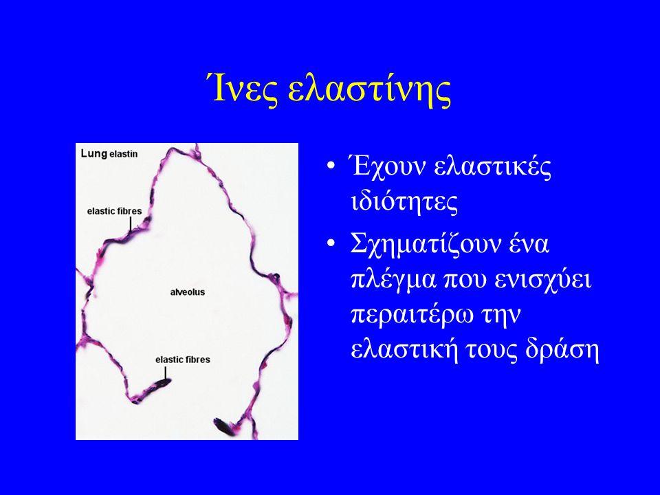 Ίνες ελαστίνης Έχουν ελαστικές ιδιότητες Σχηματίζουν ένα πλέγμα που ενισχύει περαιτέρω την ελαστική τους δράση