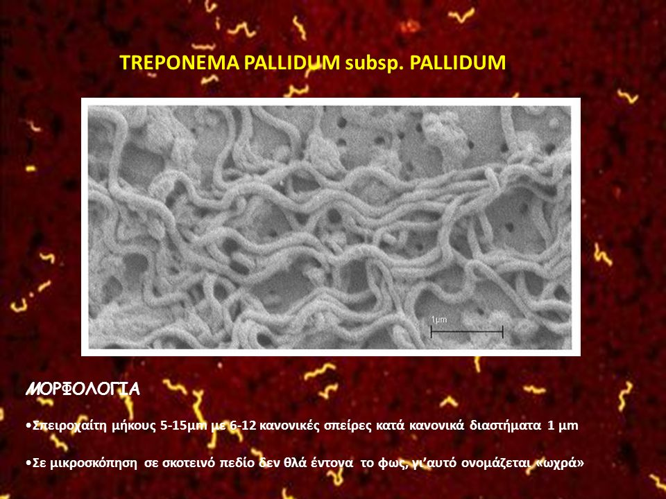 TREPONEMA PALLIDUM subsp. PALLIDUM ΜΟΡΦΟΛΟΓΙΑ Σπειροχαίτη μήκους 5-15μm με 6-12 κανονικές σπείρες κατά κανονικά διαστήματα 1 μm Σε μικροσκόπηση σε σκο